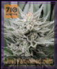 710 Genetics OG Female 5 Marijuana Seeds
